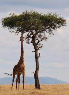 Hat die Giraffe einen langen Hals, weil sich ihre Vorfahren nach Blättern in hohen Bäumen strecken mussten?, Foto: pixabay.com